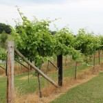 Missouri grape vines at Indian Hills Winery