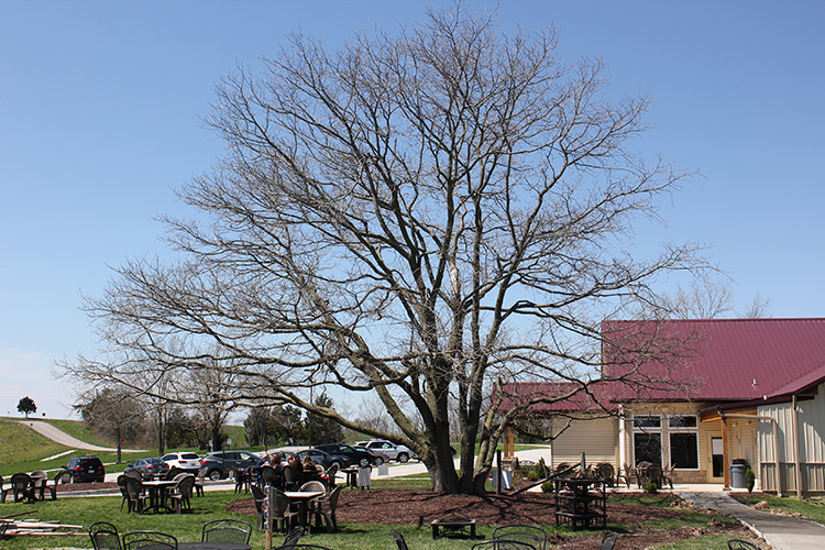 Noboleis Vineyards Tree